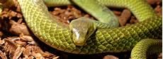 serpenti da tenere in casa quali serpenti si possono tenere in casa trovami