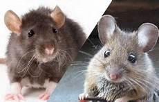 Rat Ou Souris Comment Faire La Diff 233 Rence Sos Rongeurs