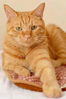 pin by janet ward on tabbies orange tabby cats
