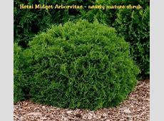 Hetzi Midget Arborvitae/Thuja