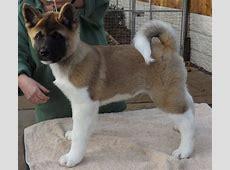 Quality male American Akita puppy   Nottingham