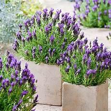 Buy Lavender Stoechas Plants At Best Sale Prices In Ireland