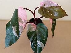 Philodendron Pink Princess Pink Variegated Aroid