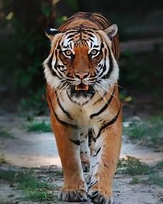 Tentang Harimau Animallabel