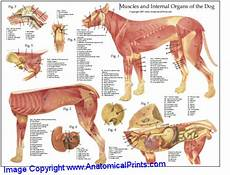 Dog Muscle Chart Dog Muscular Anatomy Chart 8 X 11