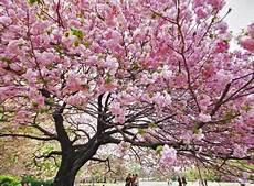 peinture japonaise synonyme les cerisiers du japon et le hanami お花見 d 233 couvrir le