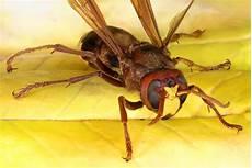 hornissennest im haus eine bedrohung f 252 r menschen