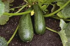 zucchine in vaso come coltivare le zucchine in vaso sul balcone non sprecare