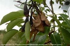 birnbaum schwarze blätter birnbaum hat schwarze bl 228 tter was hat die birne das
