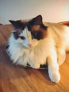 ragdoll mix what are some special cares for ragdoll mix cats quora