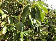 Culture De L Avocat Fruit Planter Et Faire Pousser Un