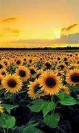 Image result for aesthetic sunflower feilds