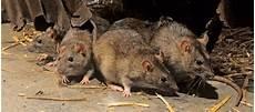 Comment Faire Lorsque Les Rats S Invitent Chez Vous