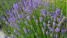 lavendel gegen wespen lavendel das blaue duftwunder mensch natur und umwelt