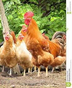 galline da cortile gallo e galline su di cortile immagine stock immagine di