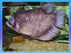 Nama Nama Ikan Air Tawar