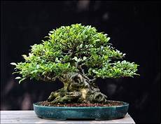 indoor bonsai tree care for beginners home and garden