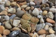 lebende steine arten lithops living stones succulent plant gothenburg