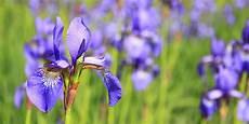 iris fiore coltivazione iris fiore coltivazione variet 224 e come si cura consigli