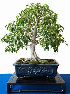 bonsai ficus benjamini ficus natasja suche innen bonsai