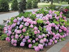 endless summer hydrangea for sale the tree center