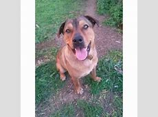 Ceasar   Medium Male American Staffordshire Terrier x