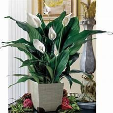zimmerpflanzen für dunkle räume zimmerpflanzen f 252 r dunkle ecken home ideen