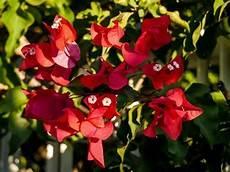 eine bougainvillea pflanzen leuchtende farben vom