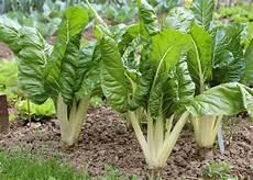culture des blettes semer ou planter des blettes ou bettes 224 cardes ou poir 233 e