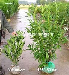 Laurier Du Caucase Ou Prunus Laurocerasus Caucasica Prix
