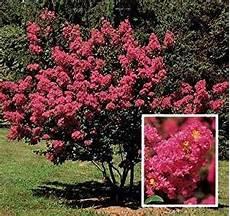 arbustes à fleurs rouges crape myrtle bush 50 seeds tree plants