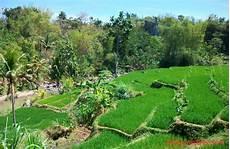 Foto Desa Aneka Info Gambar Pemandangan Sawah Desa Foto