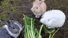 kaninchen lieben riesen l 246 wenzahn