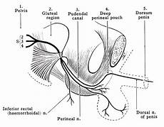 Pudendal Nerve Anatomy And Function Bone And Spine