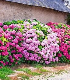 3 freiland hortensien hecke pink ros 233 3 pflanzen g 252 nstig