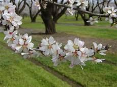 almond simple english wikipedia the free encyclopedia