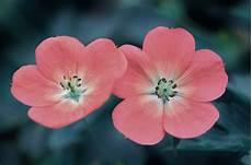blumen klein small pink flowers domain free photos for