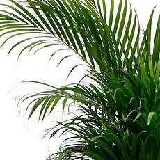 Welche Pflanze Produziert Am Meisten Sauerstoff - luftreinigende zimmerpflanzen kaufen 123zimmerpflanzen