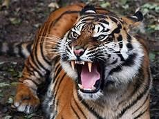 Pictures Foto Gambar Harimau Sahabat Trio Macan