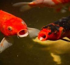 guide to pond fish that eat mosquito larvae top fish
