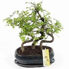 Bonsai Diese Pflanze Verdient Ihre Aufmerksamkeit