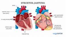 Gambar Jantung Manusia Dan Bagian Bagiannya Ar Production