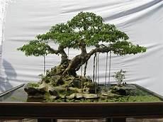 bonsai ficus benjamini ficus benjamina bonsai garden bonsai ficus