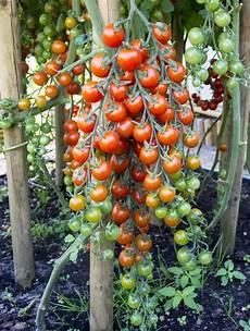 tomaten im hochbeet 10 tipps f 252 r den anbau tomaten garten tuin randen