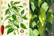 paprika pflanzen selbst anbauen anleitung hilfe bei