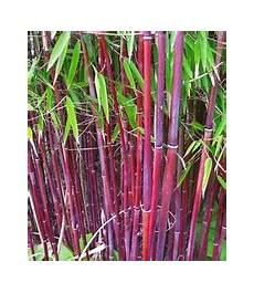 roter bambus 1a qualit 228 t kaufen baldur
