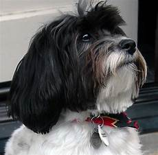 138 best havanese dogs images pinterest puppies cubs and havanese dogs