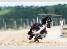 Afghanischer Windhund im Rassenportrait   edogs Magazin