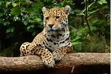jaguar ou leopard fotos gratis c 233 sped desierto fauna silvestre selva