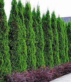 lebensbaum hecke quot thuja smaragd quot 1 pflanze g 252 nstig